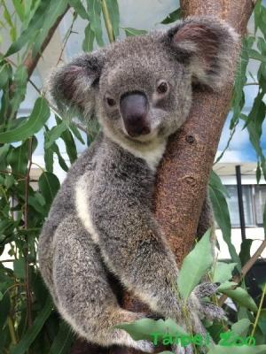 比起野外的无尾熊,在动物园内无尾熊活动范围较小,无法充分的磨损指甲